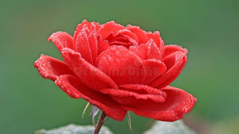 Rode bloem in bloesem met dauw stock foto's