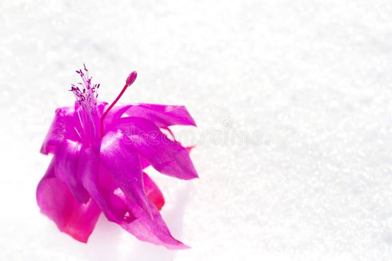 Rode bloem in de sneeuw royalty-vrije stock fotografie