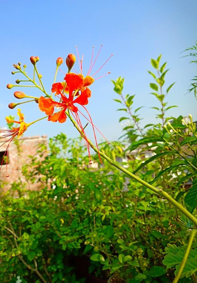 Rode bloem in de tuin stock afbeeldingen
