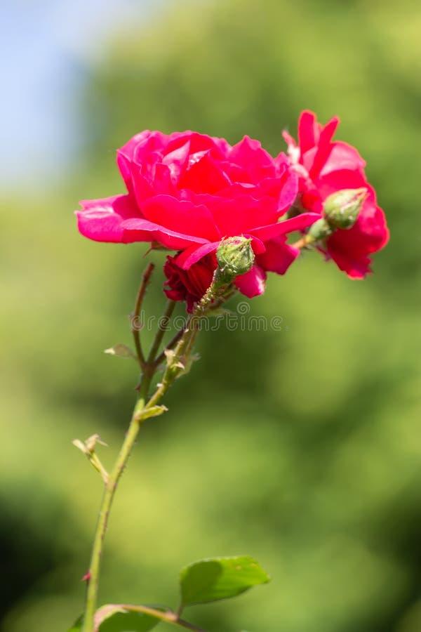 Rode bloem in de tuin royalty-vrije stock foto's