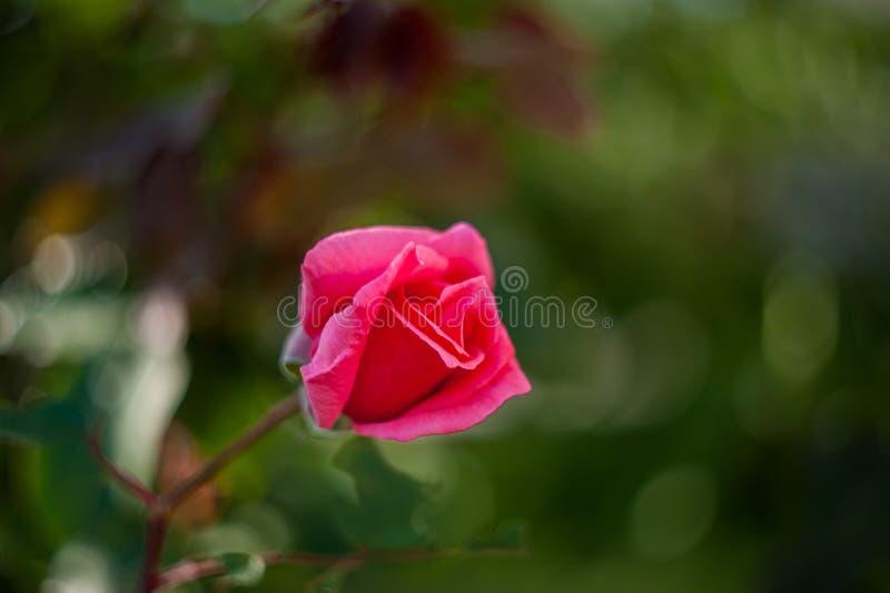 Rode bloem dichte omhooggaand in aard Sluit omhoog van Chinese hibiscusbloem in rode kleur met vage aardachtergrond royalty-vrije stock afbeelding