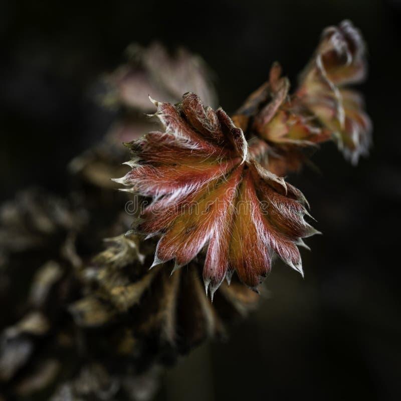 Rode bloem, endemisch aan Kilimanjaro-gebied stock foto's