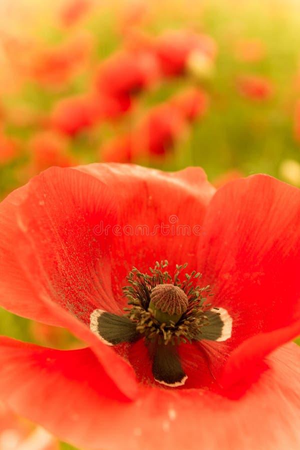 Rode bloem in macromening met stamper en stuifmeel royalty-vrije stock foto
