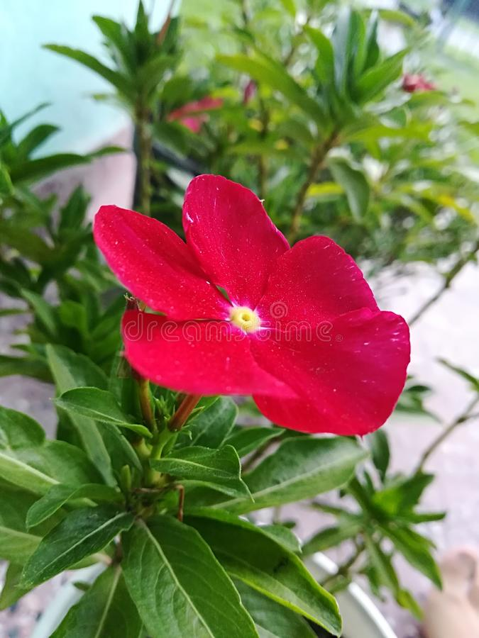 Rode bloem met vijf bloemblaadjes stock foto's