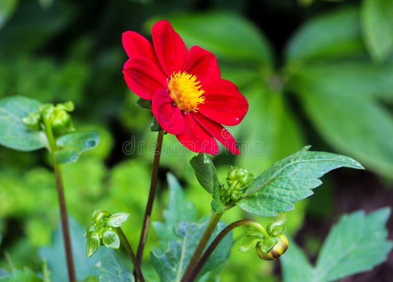 Rode bloem op latwerk royalty-vrije stock foto's
