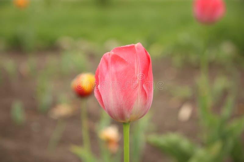 Rode bloem op tuin met andere bloemen op achtergrond royalty-vrije stock afbeeldingen