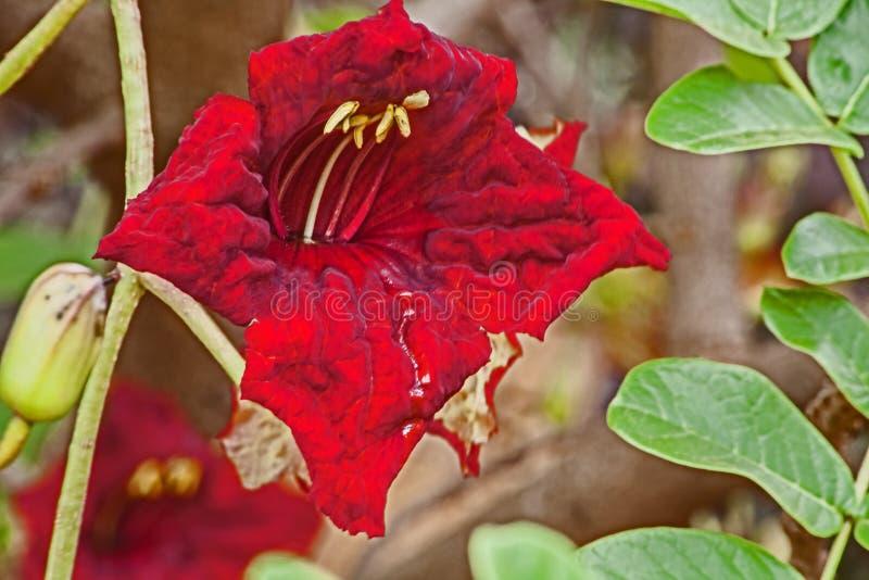 Rode Bloem van de Worstboom royalty-vrije stock afbeeldingen
