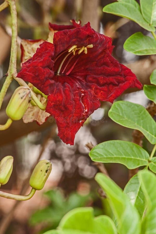 Rode Bloem van de Worstboom stock fotografie