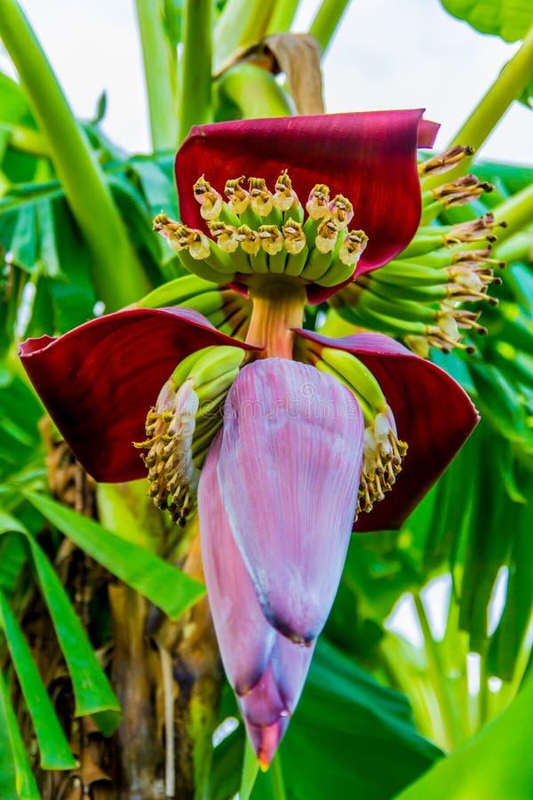 Rode bloem van een banaan royalty-vrije stock foto