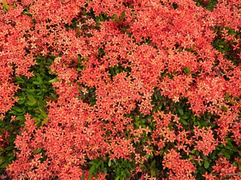 Rode bloemaar, Rubiaceae-bloem royalty-vrije stock fotografie