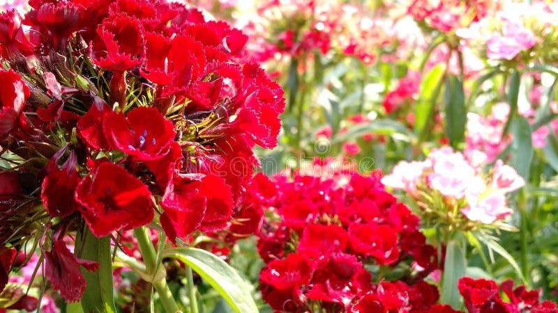 Rode bloemen in de tuin royalty-vrije stock afbeeldingen