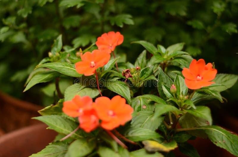 Rode bloemen die in de tuin bloeien royalty-vrije stock foto