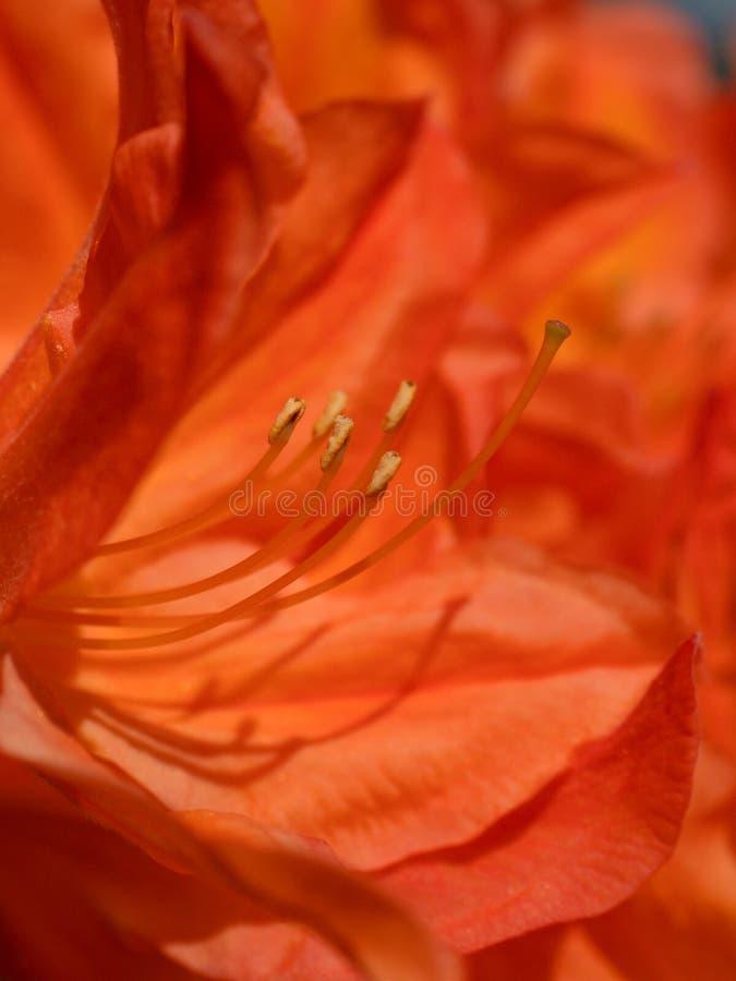 Rode bloemen die in de tuin in de lente bloeien Bloeiende rode purpere azaleabloemen stock foto's