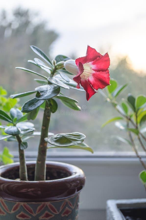 Rode bloemen die op succulente boom in houmepot bloeien stock foto