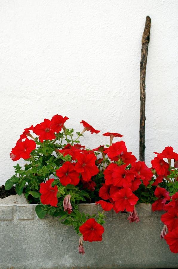 Rode bloemen in een bloempot stock afbeelding