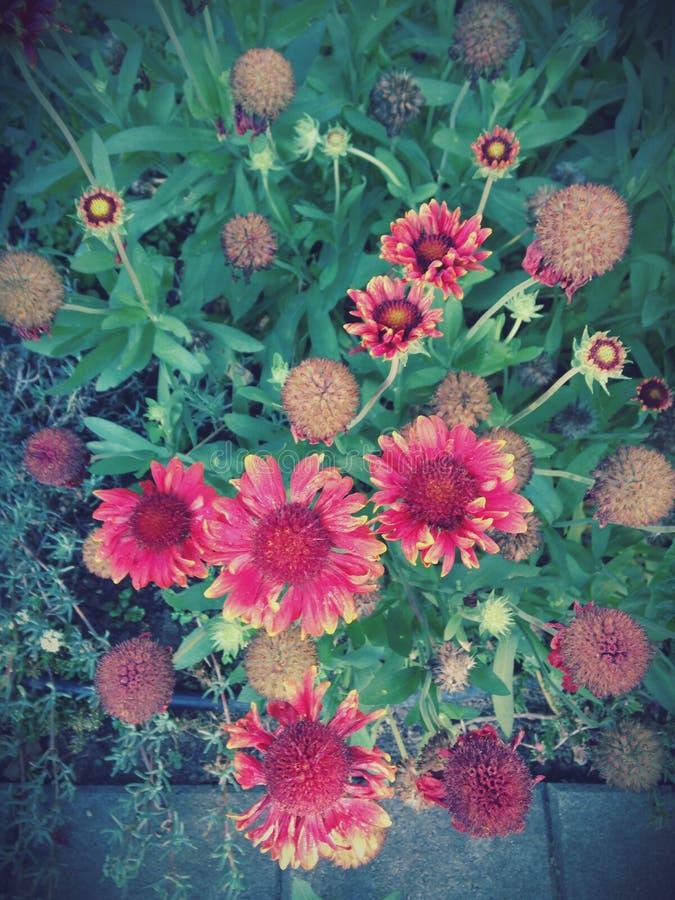 Rode bloemen Gaillardia stock fotografie