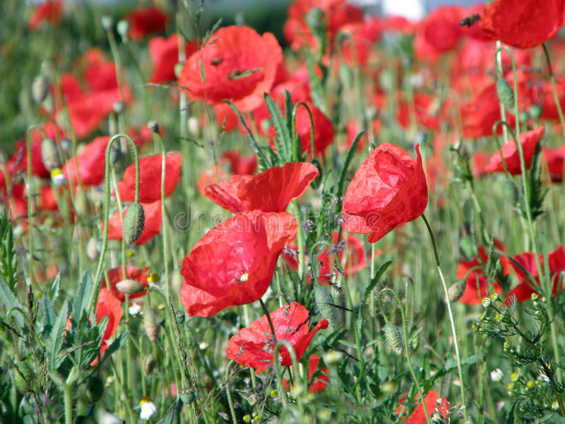 Rode bloemen, groen gras royalty-vrije stock fotografie