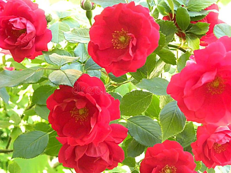 Rode bloemen met groene bladeren die op een omheining beklimmen stock foto's
