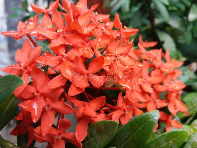 Rode bloemen na het water geven royalty-vrije stock foto's