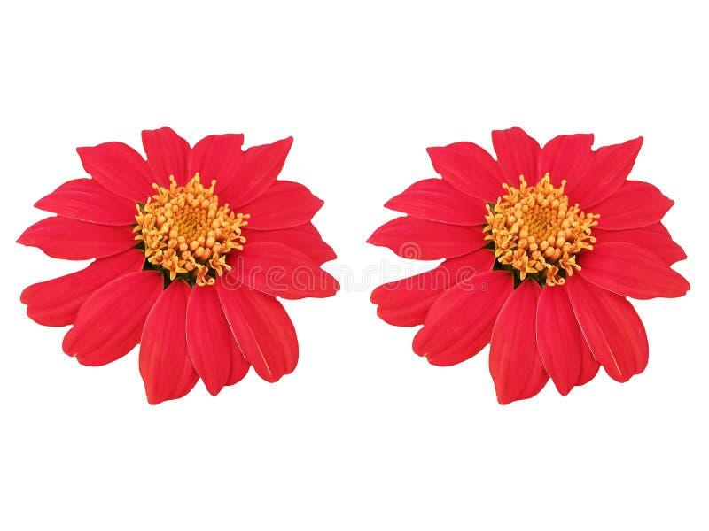 Rode bloemen op witte achtergrond royalty-vrije stock afbeeldingen