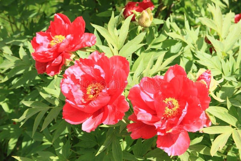 Rode bloemen - pioen royalty-vrije stock fotografie