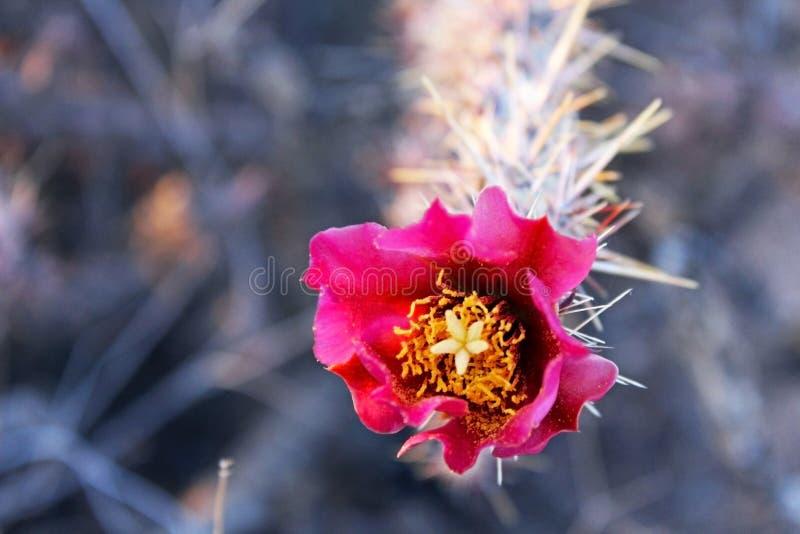 Rode Bloemen van Cactus of Saguaro stock afbeelding