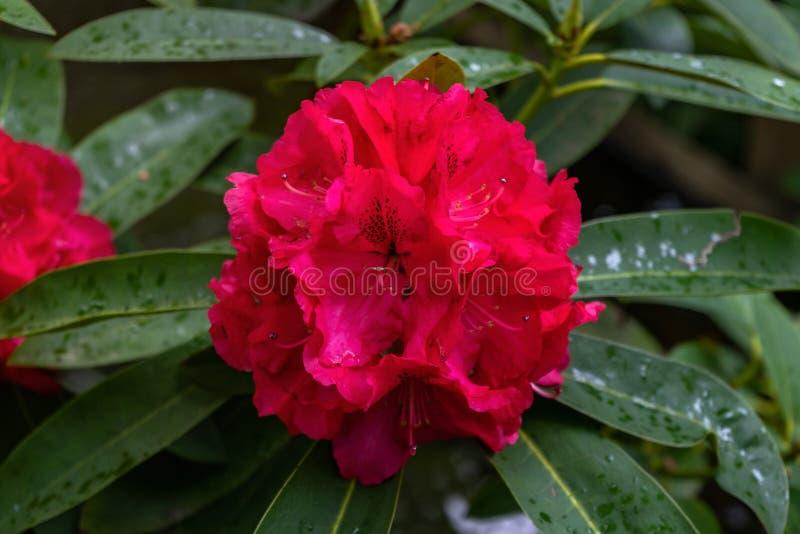 Rode bloemen van Rododendron, Azalea als aardachtergrond stock afbeeldingen
