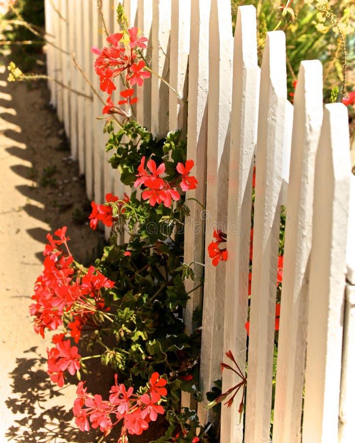 Rode bloemen witte omheining stock foto's
