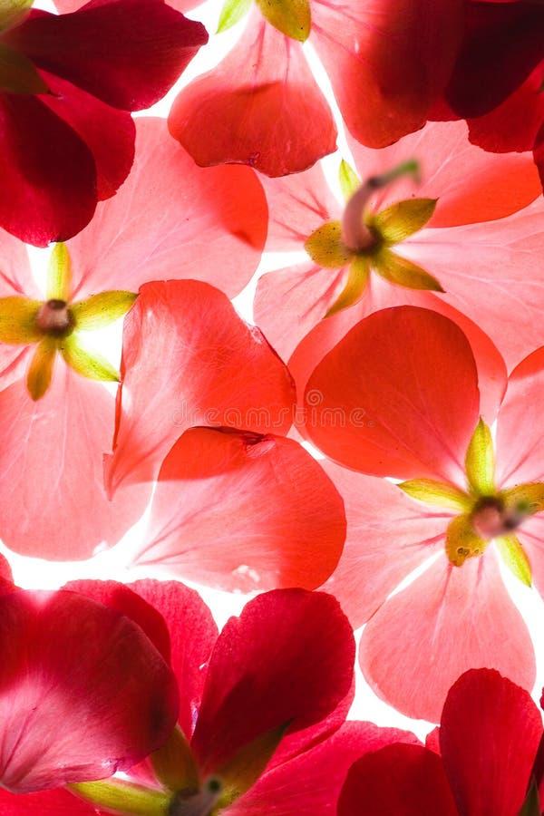 Rode bloemenachtergrond