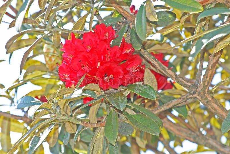Rode bloemenachtergrond, de Azalea van Rododendronarboreum in doi inthanon Nationaal park van Thailand in Chiang Mai, hoogste ber stock foto's