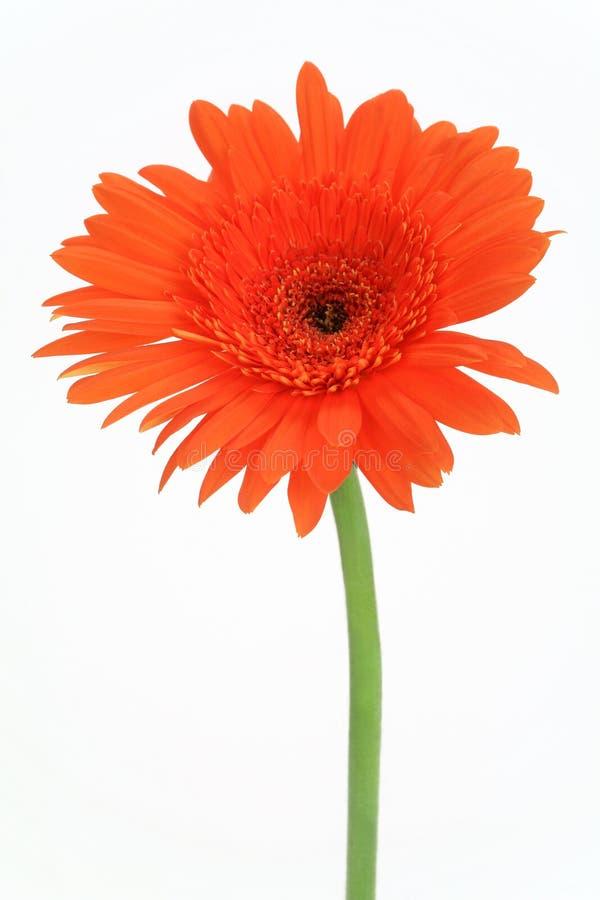 Rode bloemgerbera stock afbeeldingen