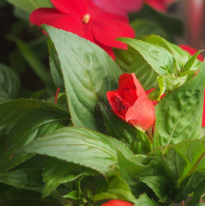 Rode bloemknoppen van de balsem Bloeiende installaties royalty-vrije stock fotografie