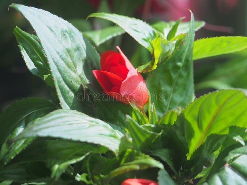 Rode bloemknoppen van de balsem Bloeiende installaties stock foto
