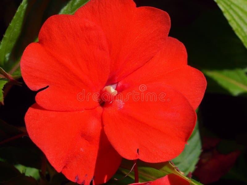 Rode bloemknoppen van de balsem Bloementeelt royalty-vrije stock fotografie