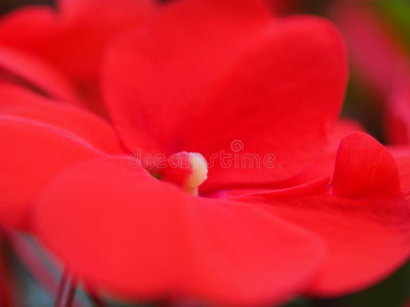 Rode bloemknoppen van de balsem Bloementeelt royalty-vrije stock afbeeldingen