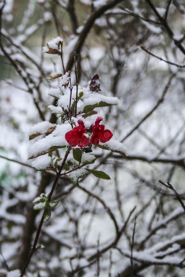Rode bloemsneeuw royalty-vrije stock afbeelding