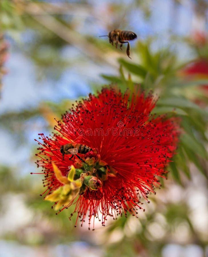 Rode bloemstruik Callistemon Bij die zoete nectar in de bloem van Callistemon zoeken De bloeiwijze van royalty-vrije stock fotografie