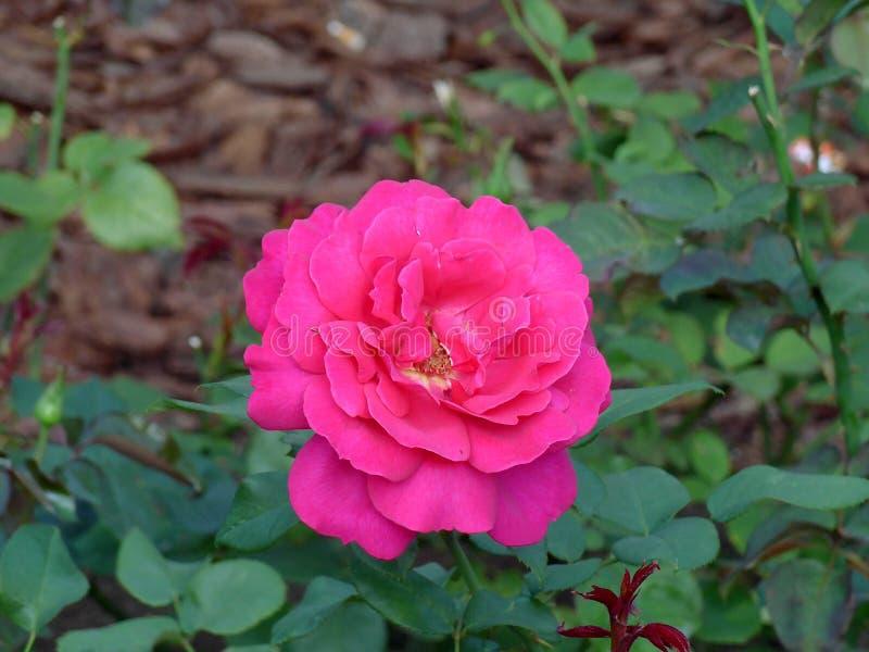 Rode Blossming nam in de tuin toe stock afbeelding