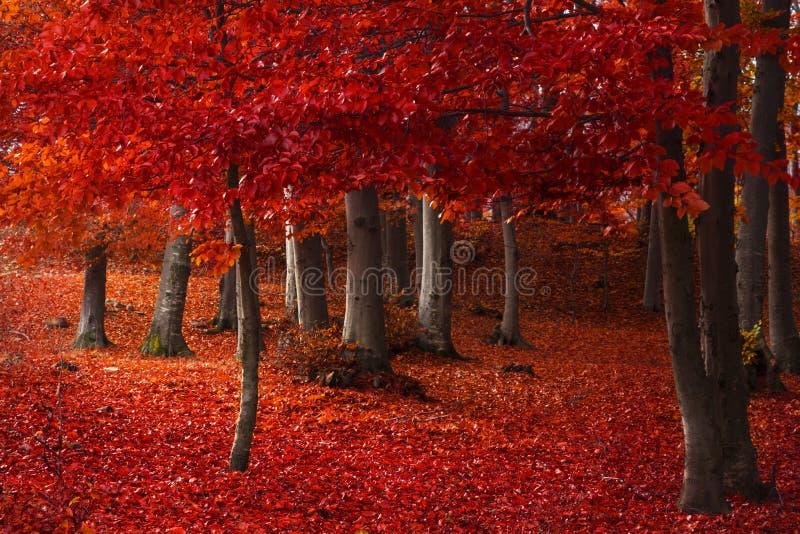 Rode bomen in het bos stock afbeelding