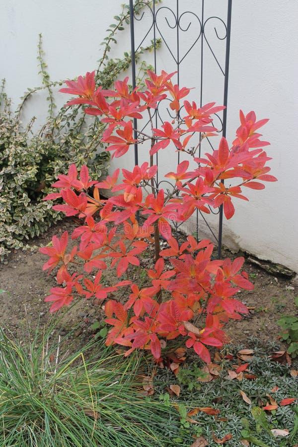 Rode boom in de herfst, azalea stock foto