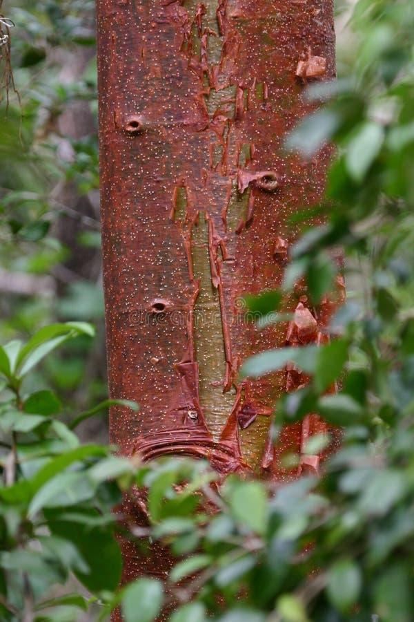 Rode boom in groene bladeren royalty-vrije stock foto's