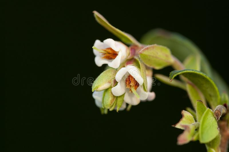 Rode bosbes, Cowberry, Vaccinium vitis-idaea. Bloempjes van de Rode bosbes, Flowers of the Cowberry stock image