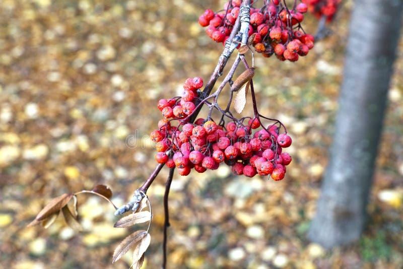 Rode bossen van lijsterbessenbessen in de herfst stock afbeelding