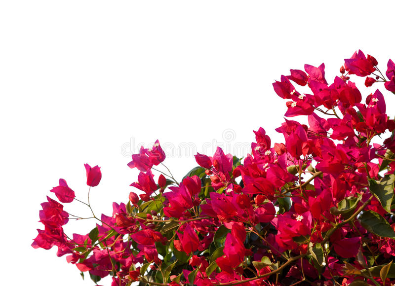 Rode bougainvillea stock fotografie