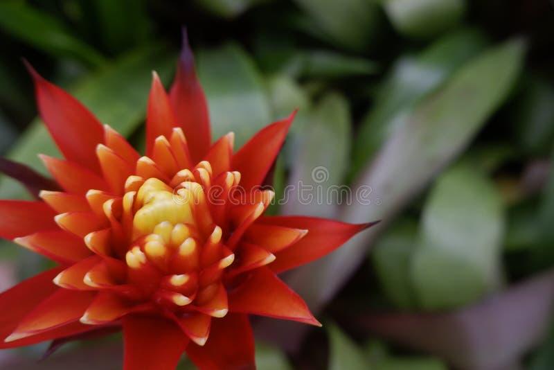 Rode Bromelia bloeiende installatie, tropische rode ananasbloem - Beeld royalty-vrije stock foto