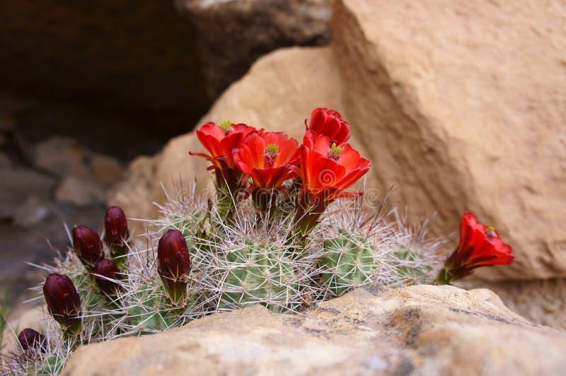 Rode Cactusbloemen stock afbeelding