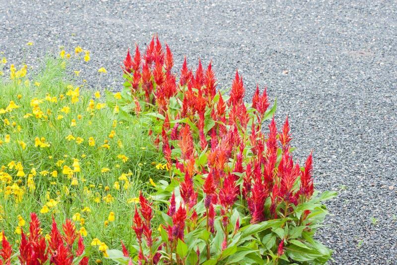 Rode Celosia-bloem royalty-vrije stock fotografie