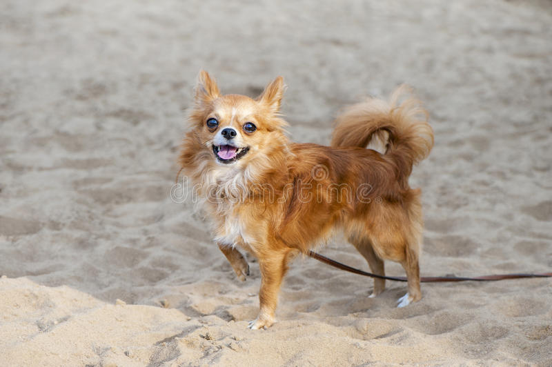 Rode chihuahuahond op zandig strand stock afbeelding