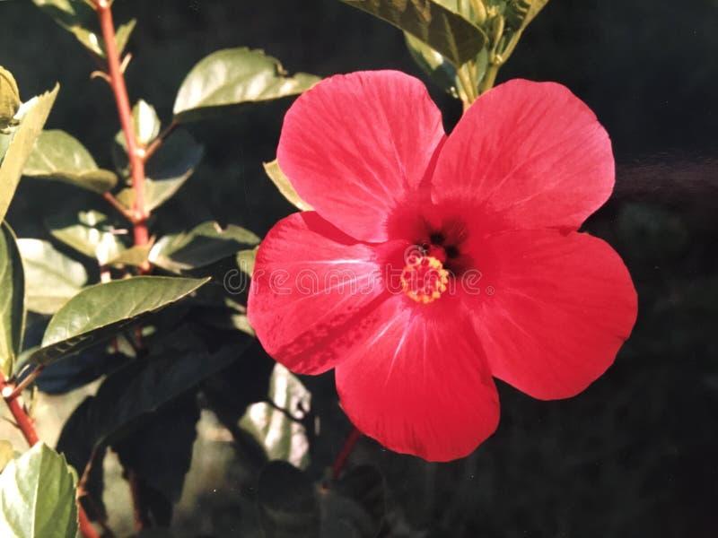 Rode Chinese hibiscus stock fotografie