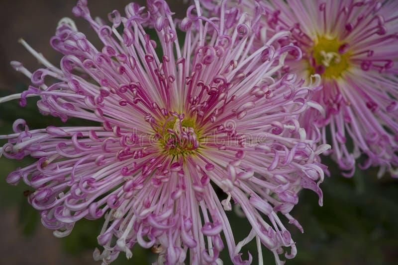 Rode chrysant stock afbeeldingen